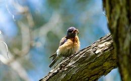 Uccellino azzurro con il verme Fotografie Stock