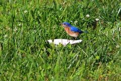 Uccellino azzurro con lo scarabeo Immagine Stock Libera da Diritti