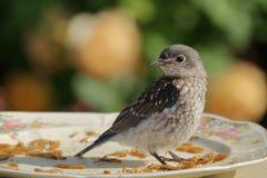 Uccellino azzurro del bambino con le rose gialle Fotografie Stock