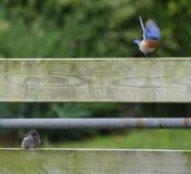 Uccellino azzurro del bambino e del papà Fotografia Stock