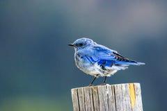 Uccellino azzurro della montagna fotografie stock libere da diritti