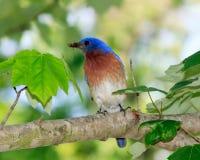 Uccellino azzurro di Easterm con il ragno sul ramo in Illinois Immagini Stock Libere da Diritti