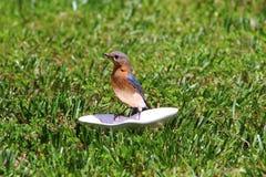 Uccellino azzurro femminile Fotografia Stock Libera da Diritti