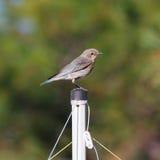 Uccellino azzurro femminile della montagna Immagini Stock