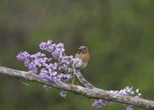 Uccellino azzurro femminile sui lillà nella pioggia Fotografia Stock
