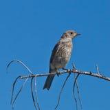 Uccellino azzurro giovanile della montagna Immagine Stock Libera da Diritti