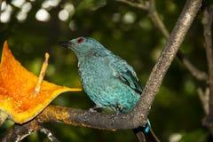 Uccellino azzurro leggiadramente asiatico Fotografia Stock Libera da Diritti