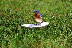 Uccellino azzurro maschio Immagini Stock