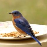 Uccellino azzurro maschio all'alimentatore Fotografia Stock