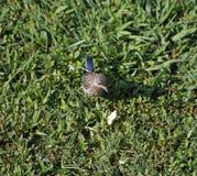 Uccellino azzurro nell'erba Fotografia Stock Libera da Diritti