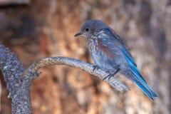 Uccellino azzurro occidentale - giovane Fotografia Stock Libera da Diritti