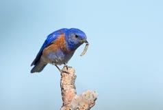Uccellino azzurro occidentale - maschio, con un verme immagine stock libera da diritti