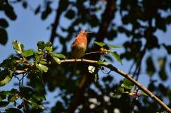 Uccellino azzurro orientale Fotografia Stock Libera da Diritti