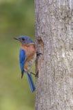Uccellino azzurro orientale al nido Fotografia Stock