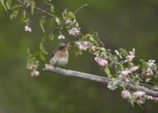Uccellino azzurro orientale appollaiato in fiori rosa Immagine Stock Libera da Diritti