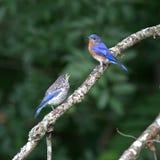 Uccellino azzurro orientale che alimenta i suoi giovani immagini stock libere da diritti