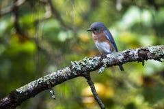 Uccellino azzurro orientale che guarda intento Fotografia Stock