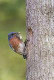 Uccellino azzurro orientale che porta alimento ai suoi giovani Immagini Stock Libere da Diritti