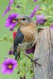 Uccellino azzurro orientale femminile Immagine Stock