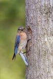 Uccellino azzurro orientale femminile che esamina la macchina fotografica Fotografia Stock