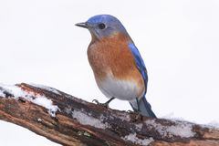 Uccellino azzurro orientale maschio in neve Fotografia Stock