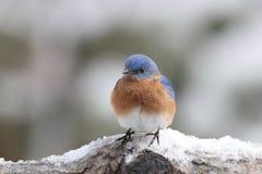 Uccellino azzurro orientale nell'inverno Fotografia Stock Libera da Diritti