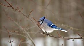 Uccellino azzurro in un albero Immagini Stock