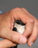 Uccellino del sorso Fotografia Stock