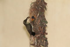 Uccellino implume d'alimentazione 6 di Sunbird Immagini Stock