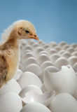Uccellino implume del pollo Immagine Stock