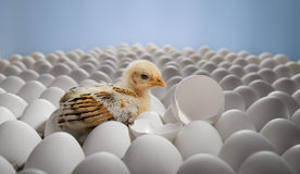 Uccellino implume del pollo Fotografia Stock
