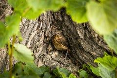 Uccellino implume del primo piano del tordo Fotografia Stock