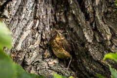Uccellino implume del primo piano del tordo Fotografia Stock Libera da Diritti