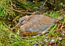 Uccellino implume della tortora dal collare orientale Fotografia Stock