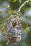 Uccellino implume di Baltimore Oriole Fotografia Stock