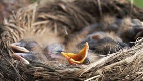 Uccellino implume neonato del tordo che aumenta la sua testa e che apre il suo becco che chiede l'alimento video d archivio