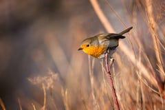 Uccello abile del pettirosso sul ramo immagine stock libera da diritti