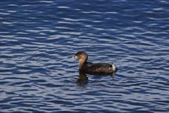 Uccello in acqua Immagini Stock