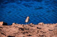 Uccello acquatico adulto del fratino fotografie stock