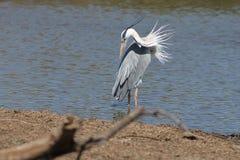 Uccello acquatico africano immagine stock libera da diritti