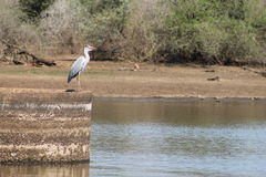 Uccello acquatico africano immagini stock libere da diritti