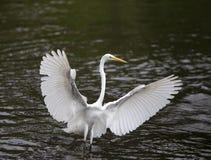 Uccello acquatico bianco immagini stock