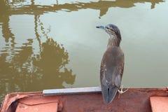 Uccello acquatico - corpi striati di appoggio verdi striati dei butorides dell'airone appollaiati sulla barca fotografie stock libere da diritti