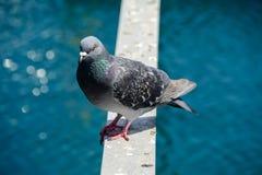 Uccello acquatico del fratino del piccione immagini stock libere da diritti