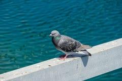 Uccello acquatico del fratino del piccione fotografia stock