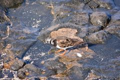Uccello acquatico del fratino immagini stock