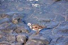 Uccello acquatico del fratino fotografie stock