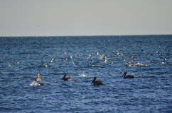 Uccello acquatico del pellicano fotografia stock libera da diritti