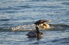 Uccello acquatico del pellicano fotografie stock