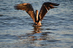 Uccello acquatico del pellicano immagini stock
